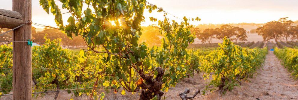 australian wine region south australia scaled 992x334 1